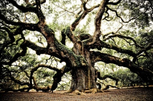 1400-Years-Old-Angel-Oak-Tree-One-Of-The-Oldest-Living-Tree-In-The-World_-1